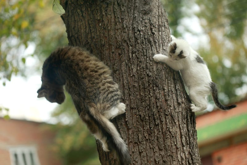 Cats cannot climb down a tree head first