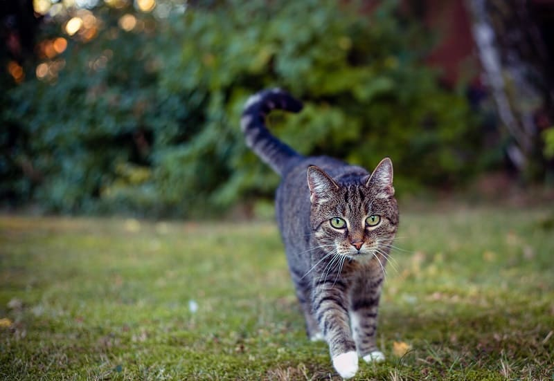 Cats have a unique way of walking, like camels and giraffes.