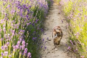 Do Cats Hate Lavender