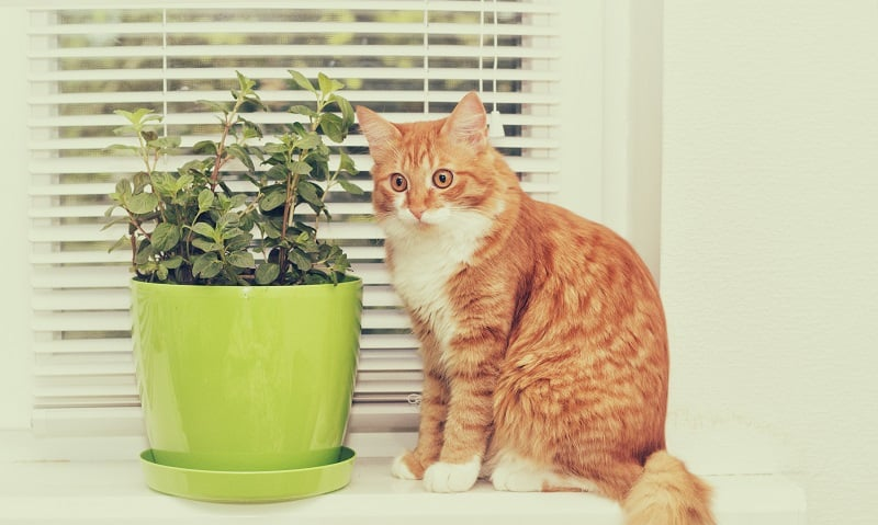 Do Cats Hate Peppermint?
