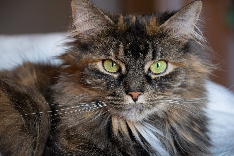 Domestic Long Hair vs Maine Coon