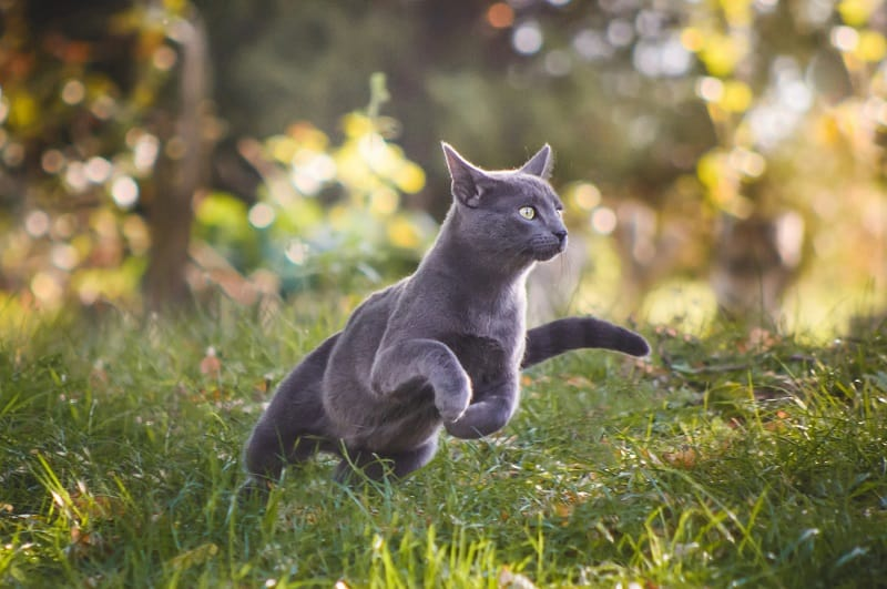 House cats can run at speeds of up to 30mph