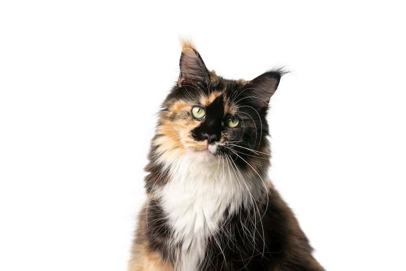 Savannah Cat vs Maine Coon