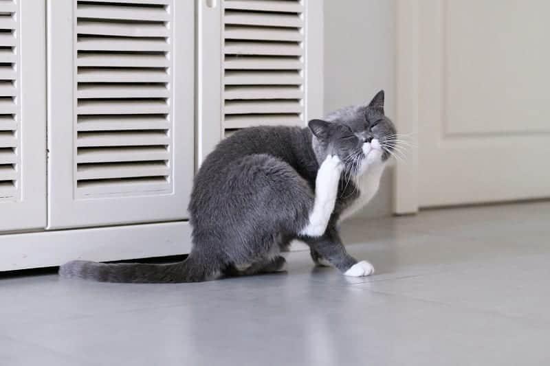 Can Indoor Cats Get Ear Mites?