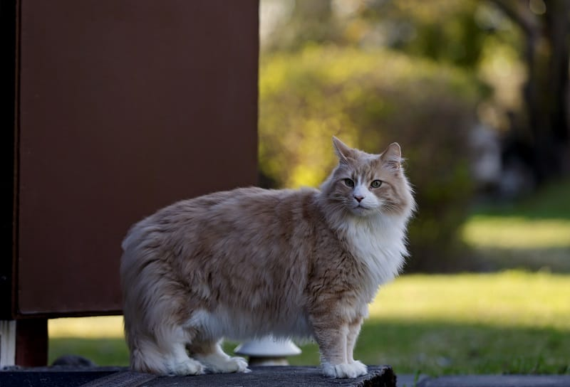 Can Male Cats Still Spray After Being Neutered?