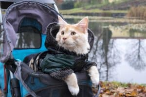 Do Cats Like Strollers