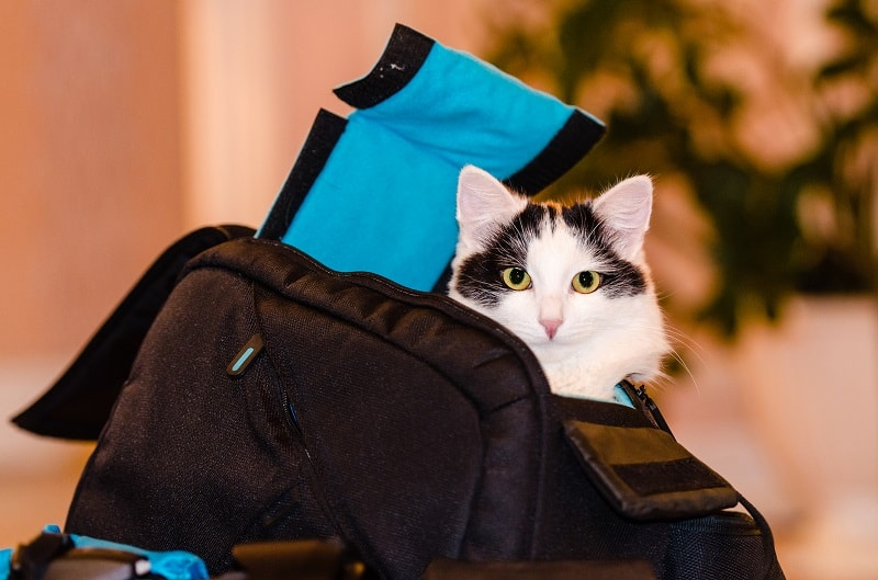 How To Move Cats Long Distance?