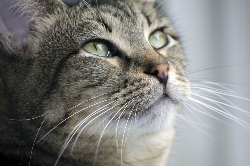 Why Are My Cat's Whiskers Curling?