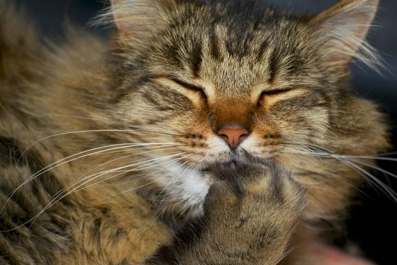 Why Do Cats Cover Their Mouth?