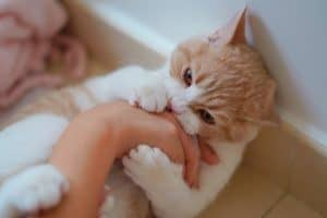 Why Do Cats Rub Against You Then Bite